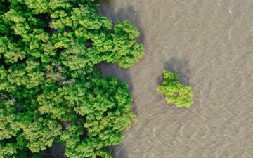 Mangrove forest overlooking water from above