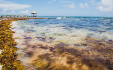 Sargassum washed up on a beach