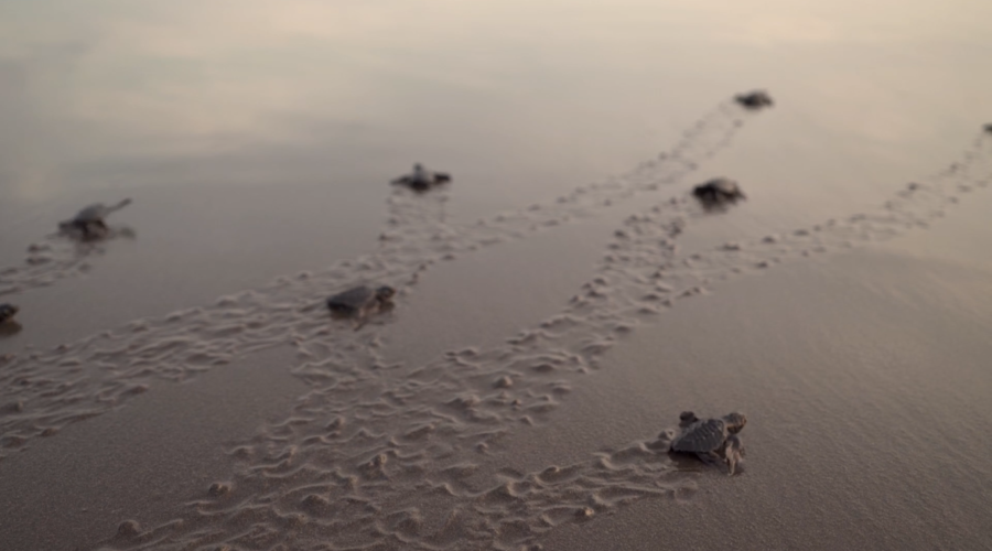 Baby sea turtles on beach